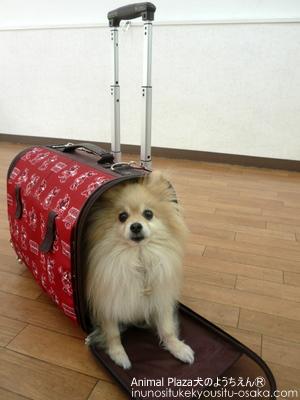 チョピキャリー_犬のようちえんⓇ_大阪堀江教室
