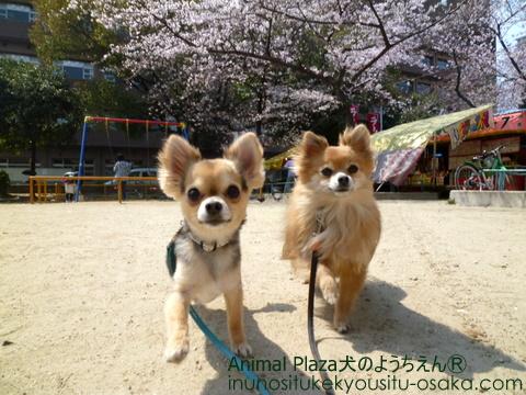 プリンココア_犬のようちえんⓇ_大阪堀江教室