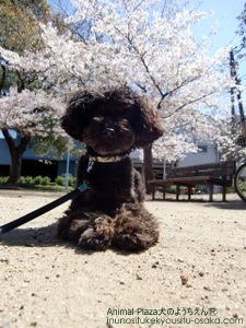 虎太郎桜_犬のようちえんⓇ_大阪堀江教室