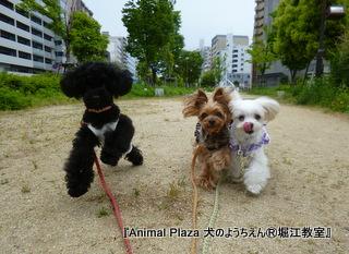 ミュウミュウちゃん&ラビアンちゃん&ジュノちゃん3姉妹でお散歩